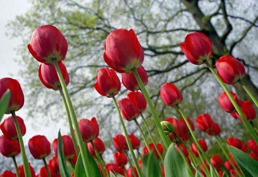 holanda-tulipas_jpg.jpg